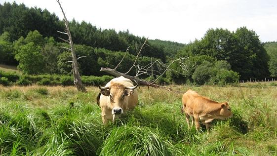 Morvan Vache